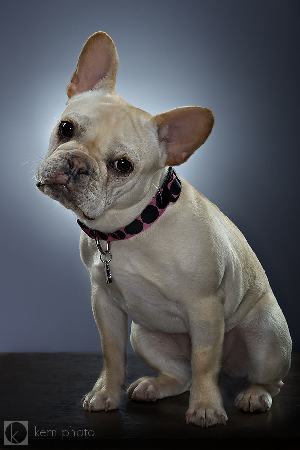 French Bulldog photo by Denver Pet Photographer Kern-Photo